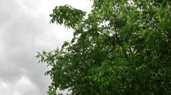 Branch with nut tree Stock Footage
