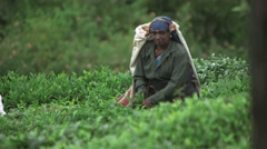 Indian Laborer Working in a Tea Field (Close Up 1) - stock footage