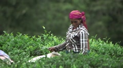 Indian Laborers Working in a Tea Field (Close Up 2) Stock Footage