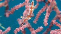 Transluent Gorgonian Shrimp Stock Footage
