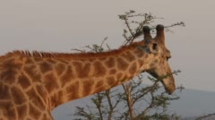 Two clip combo of Giraffe standing and eating from a tree - stock footage