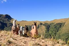 South America Alpaca and llama,Pasochoa Ecuador - stock photo