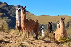 Alpacas at the Pasochoa volcano, Ecuador Stock Photos