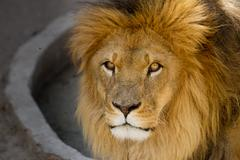 Majestic lion male with golden mane Close up - stock photo