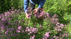 Middle aged man picking flowering fresh oregano in herb garden Stock Footage
