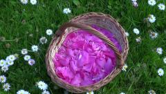 Pink peony petals in the woven wooden basket on grass Stock Footage