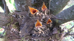 Song thrush (Turdus philomelos) nest with chicks in pear tree Stock Footage