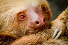 Young awake sloth in Ecuador South America Stock Photos