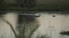 Two clip combo of hippo in water - stock footage