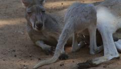 Kangaroo mother feeds her baby milk Stock Footage