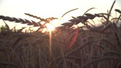 Grains Of Wheat In Sunset Stock Footage