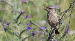 Fledgling stonechat sitting on a branch Stock Footage