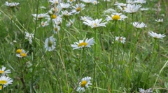 Chamomile  in a meadow Stock Footage