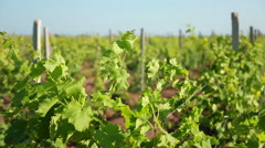 Shoots Of Grapes On A Trellis Stock Footage
