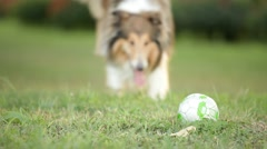 Stock Video Footage of Rough-collie runs
