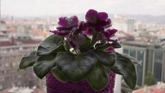 Purple Flower in front of the Window RAW Stock Footage