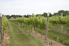 kon to KOS ta Winery at Greenport Long Island USA - stock photo