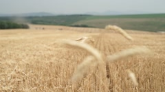 Rack focus clip of a field of reap Stock Footage