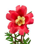 Red flower portulaca isolated on white background Stock Photos