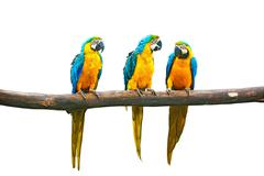 Blue-and-Yellow Macaw (Ara ararauna), also known as the Blue-and-Gold Macaw o - stock photo