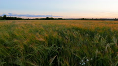 Rye field and sunset Stock Footage