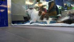 Pet Shop Cats - 02 - Funny Pussy Kittens Playing in Vitrine Stock Footage