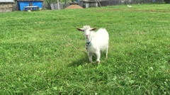 Goat with a beard grazes on a rope. Stock Footage