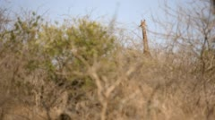 Two clip combo of Giraffe standing and eating - stock footage