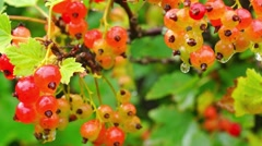Red currant getting ripe Stock Footage
