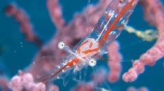 Transluent Gorgonian Shrimp - stock footage