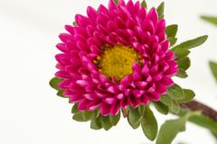 Red China Aster Flower Stock Photos