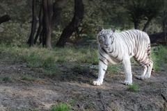 White tiger on evening stroll Stock Photos