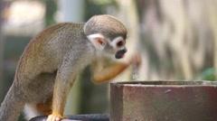 Squirrel monkey (Saimiri sciureus) Stock Footage