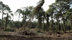 Fall felled tree. Felling of tropical rainforests. Africa Stock Footage
