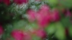 Rose bush rack focus - stock footage