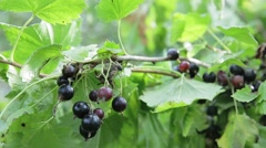 Black currant branch Stock Footage