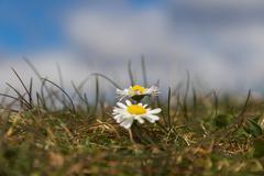 Wild Daisies Detail - stock photo
