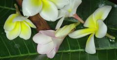 Jasmin and cinnamon on the green leafs. Macro shot Stock Footage