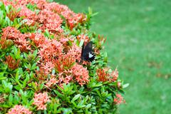 Beautiful black butterfly on exotic  flowers of tropical Climate Stock Photos