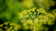 Dill plant flowering close up with burred background Stock Footage
