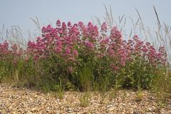 Red Valerian (Centranthus ruber) on Aldeburgh Beach, Suffolk, England Stock Photos