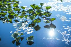 Lillypads reflection on water - stock photo