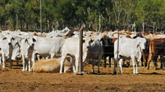 Brahman cattle for export Stock Footage