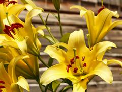 Yellow lilies against wooden wall - stock photo