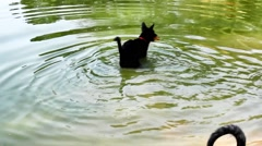 Three-legged handicapped black dog playing in a pond with toys Stock Footage