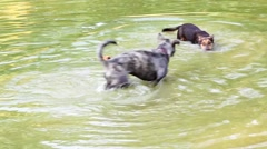 Two hyper energetic dogs swim and playing in a pond Stock Footage