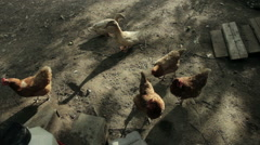 Chickens and Ducks in Pen - stock footage