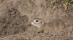 4K Scared gopher animal hole house squirrel wild habitat fauna ground burrow day Stock Footage