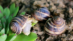 Three snails on a rock Stock Footage