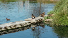 Rural Pond with Waterfall and Ducks - B-Roll - stock footage